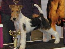 cacopoulos don pirolo, wire fox terrier, travella strike accord, cacopoulos made