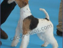 CACOPOULOS LIGHT MY FIRE, ELA, JUNIOR THE MECHANIC, WIRE FOX TERRIERS SPAIN,MOST