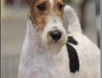 cachorros fox terrier pelo duro cacopoulos monster españa puppys spain dog