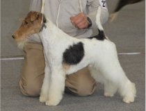 Cacopoulos Most Wanted, fox terrier valencia, Ch. Travella Strike Accord,wire fo