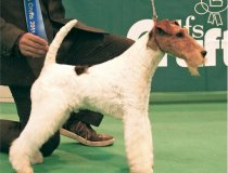 Jerry Lee, cacopoulos skywalker, wire fox terrier españa, fox terrier valencia