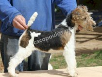 CACOPOULOS VULTURI,WIRE FOX TERRIER,SPAIN,DOG SHOW CACOPOULOS,PUPPY