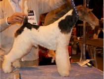 cacopoulos made in heaven, fox terrier valencia, wire fox terrier españa
