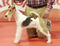 lucrecia, cacopoulos, wirefoxterrier,foxcampeones, foxespaña