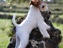 cacopoulos el pertur,dogshow, puppy,wire fox terrier spain,champions dogs,most w
