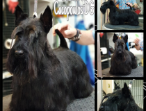 Stripping del Scottish terrier