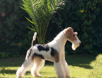 cacopoulos domino, wire fox terrier.