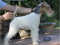 Wire fox terrier España, fox terrier valencia, tintin, cacopoulos, queen