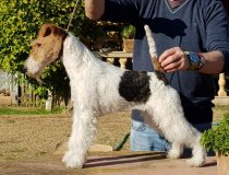 cacopoulos, furious, wirefoxterrier, foxterrier, foxespaña