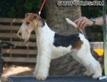 Wire fox terrier España, fox terrier valencia, tintin, cacopoulos number one