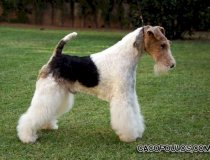Ch Travella Strike Accord, wire fox terrier, fox terrier pelo duro, cacopoulos