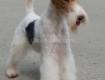wire fox terrier, dog show champion, cacopoulos this is the end, gandalf el blan