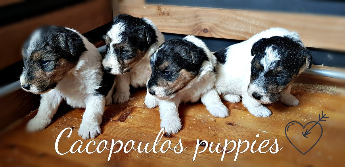 cachorros, fox, terrier, cacopoulos, johnny, lola, wire, jeep.