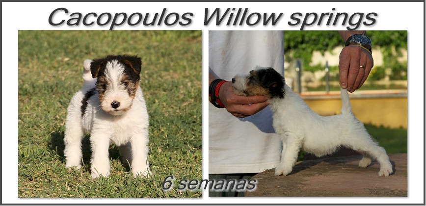 puppys fox terrier cacopoulos dog show cachorros