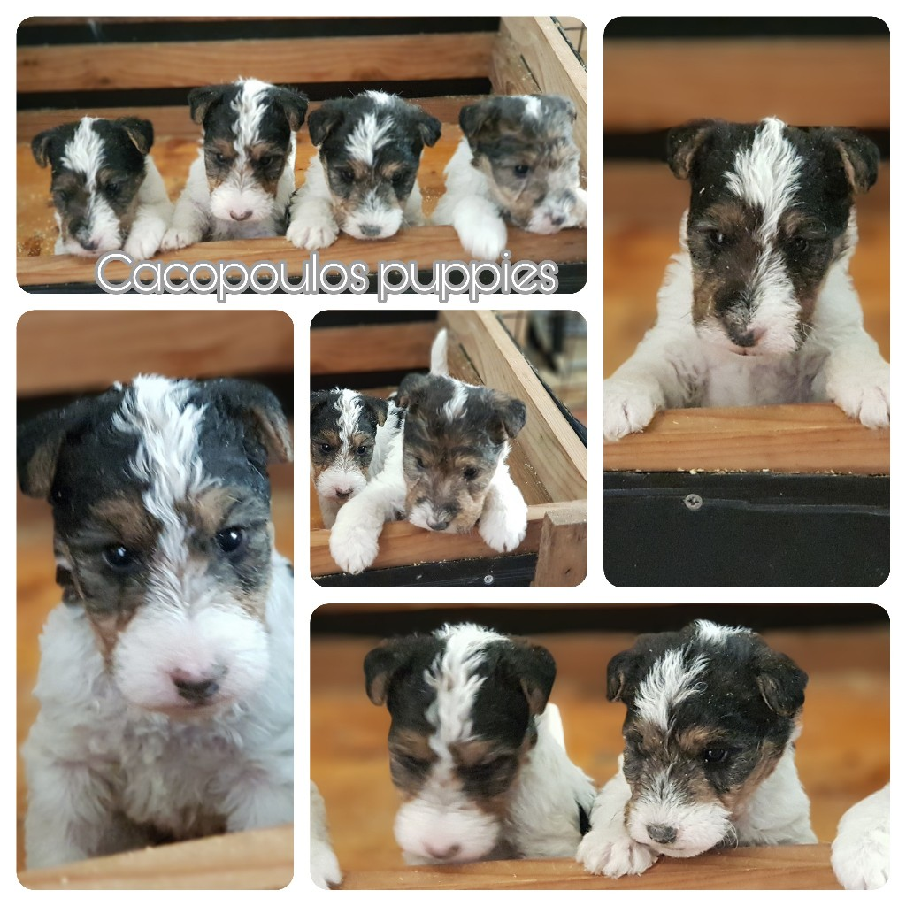 cachorros, fox, terrier, cacopoulos, wirefoxterrier, puppies,