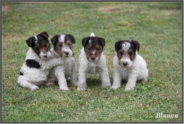 cachorros de queen,puppys wire fox terrier,cacopoulos,spain,show dog,