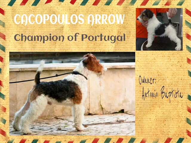 cacopoulos arrow,wire fox terrier,champion portugal,puppys fox terrier,dog show
