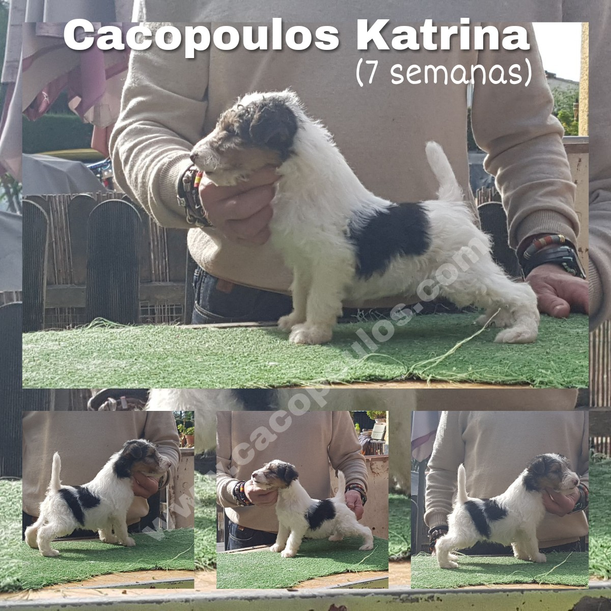 wire, fox, terrier, cacopoulos, katrina, foxterrier, peloduro, cachorros, puppies