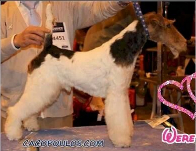 CACOPOULOS MADE IN HEAVEN,WIRE FOX TERRIER,PUPPYS,DOG SHOW,